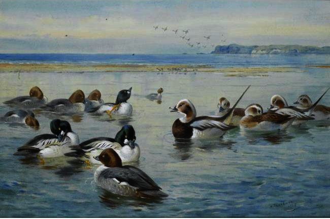 Goldeneyes而Longtails, 水彩 通过 Archibald Thorburn (1860-1935, United Kingdom)