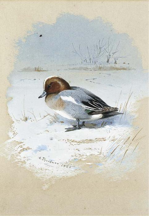 Wigeon, 水彩 通过 Archibald Thorburn (1860-1935, United Kingdom)