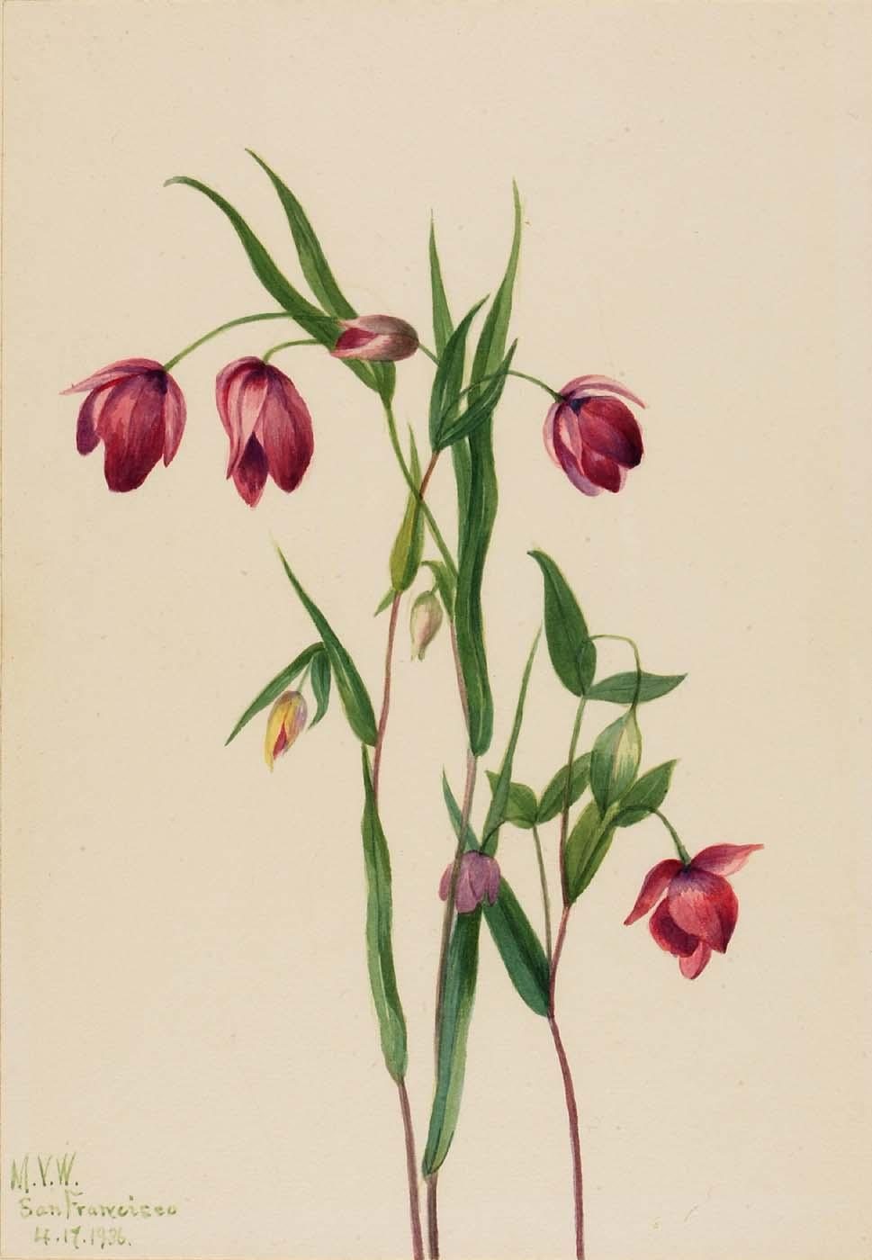 紫色 仙女灯笼 ( Calochortus anoenum ), 1936 通过 Mary Vaux Walcott (1860-1940, United States) | 傑作拷貝 | ArtsDot.com